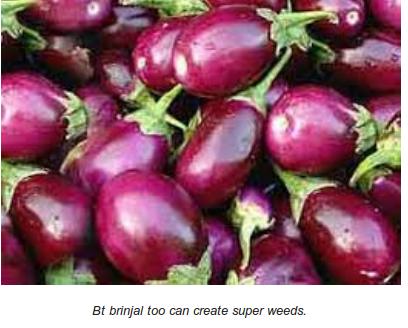 brinjals superweeds