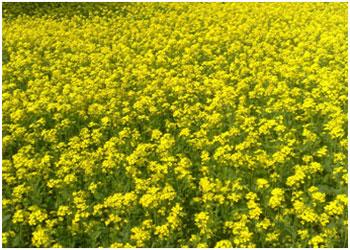 GM-Mustard